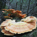 Laetiporus sulfureus 'Chicken of the Woods' or 'Sulphur Shelf'