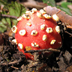 Amanita parcivolvata 'Ringless False Fly Agaric'