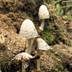 Coprinopsis variegata 'Scaly Inky Cap'
